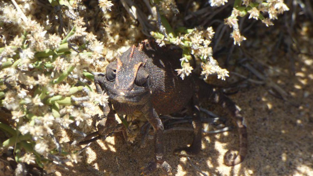Chamäleon unter einem Strauch an der Skelettküste