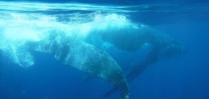 Zu Besuch bei den Buckelwalen