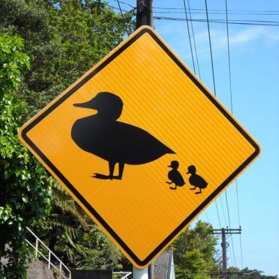 Achtung, noch eine Entenfamilie! (Neuseeland)