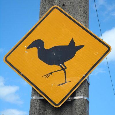 Achtung, noch mehr wildgewordenen Wekas! (Neuseeland)